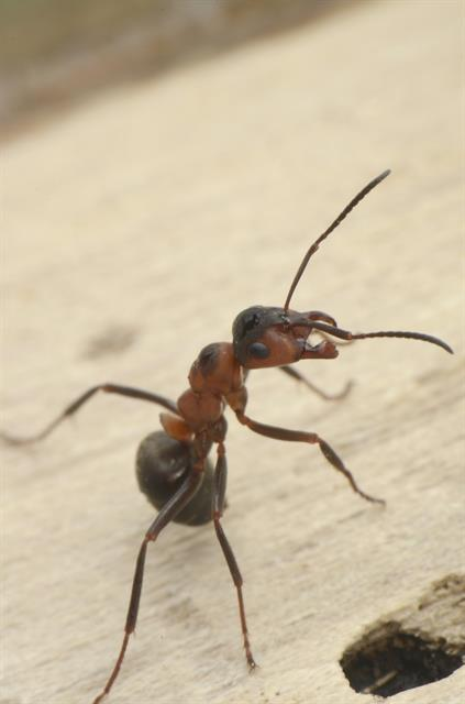 Horse ant, southern wood ant (Formica rufa) photo