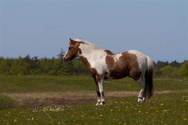 horse (Equus caballus) photo