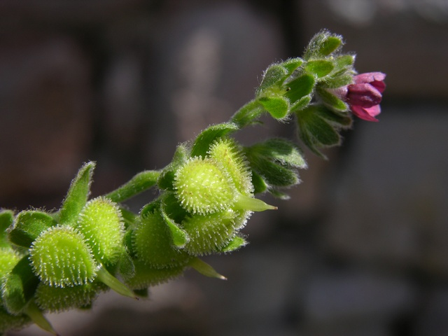Hound´s-tongue (Cynoglossum officinale) photo