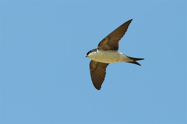 House Martin (Delichon urbica) photo