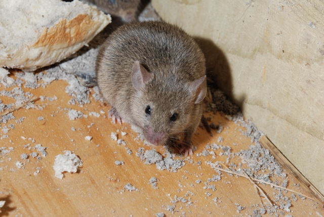 House Mouse (Mus musculus) photo