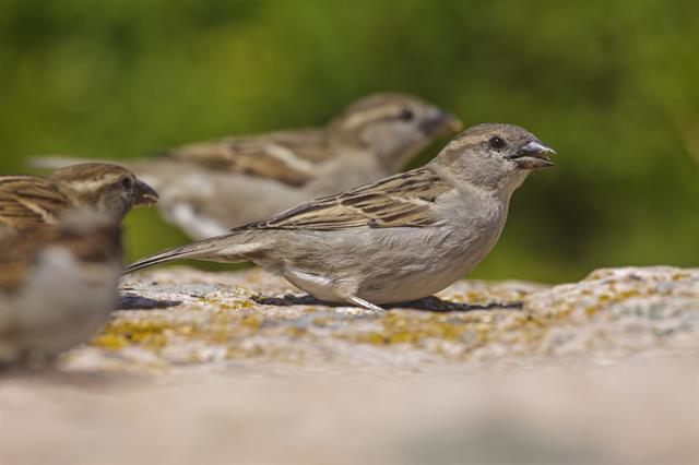 House Sparrow (Passer domesticus) photo