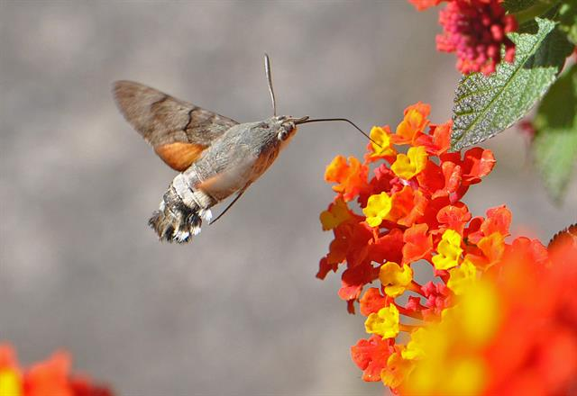 Humming-bird Hawk-moth (Macroglossum stellatarum) photo