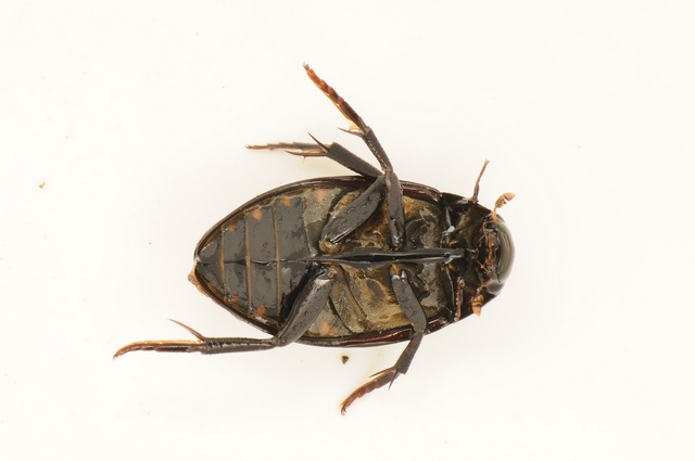 Hydrophilus piceus photo