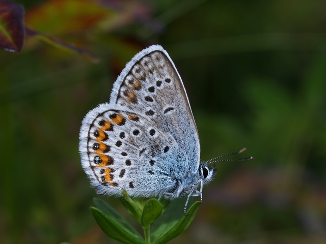 Idas Blue (Plebejus idas) photo