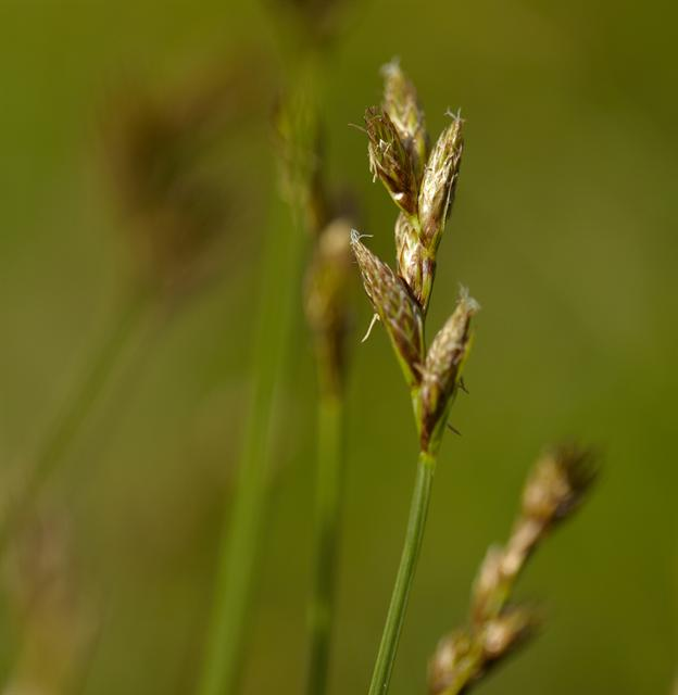 Oval Sedge (Carex ovalis)
