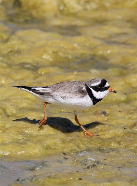 Ringed Plover (Charádrius hiaticula)