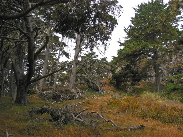 Image of Cupressus macrocarpa