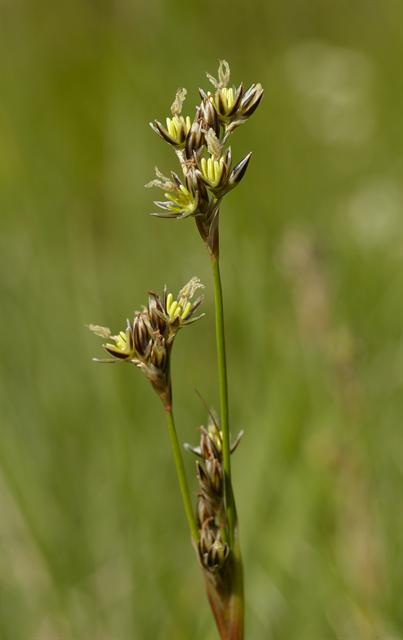 Heath Rush (Juncus squarrosus)