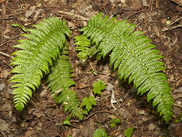 Prickly Shield Fern (Polystichum aculeatum)