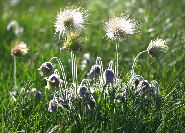 Small Pasque Flower (Pulsatilla pratensis)