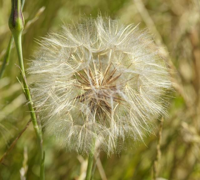 Image of Tragopogon pratensis