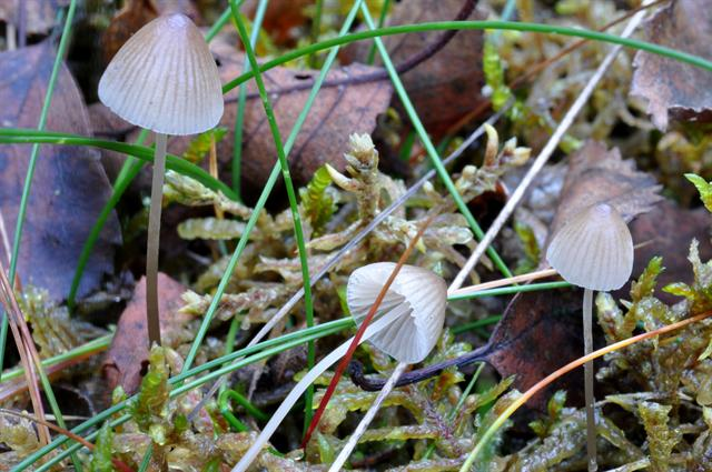 Iodine Bonnet (Mycena filopes) photo