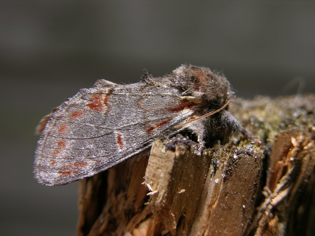 Iron Prominent (Notodonta dromedarius) photo
