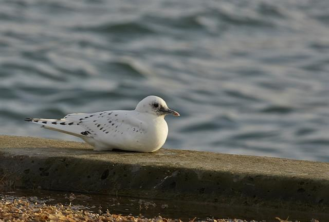 Ivory Gull (Pagophila eburnea) photo