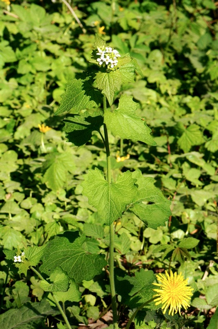 Jack-by-the-hedge, Garlic Mustard (Alliaria petiolata) photo