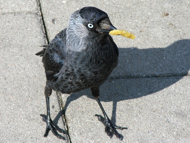 jackdaw (Corvus monedula) photo