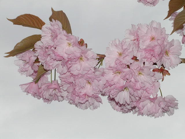 Japanese Cherry (Prunus serrulata) photo