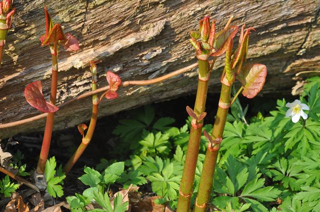 Japanese Knotweed (Fallopia japonica) photo