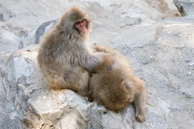 Japanese Macaque (Macaca fuscata) photo
