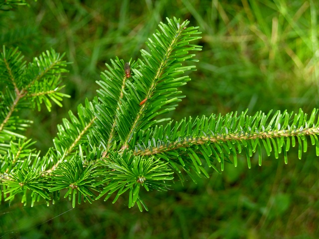 Fraser fir (Abies fraseri)