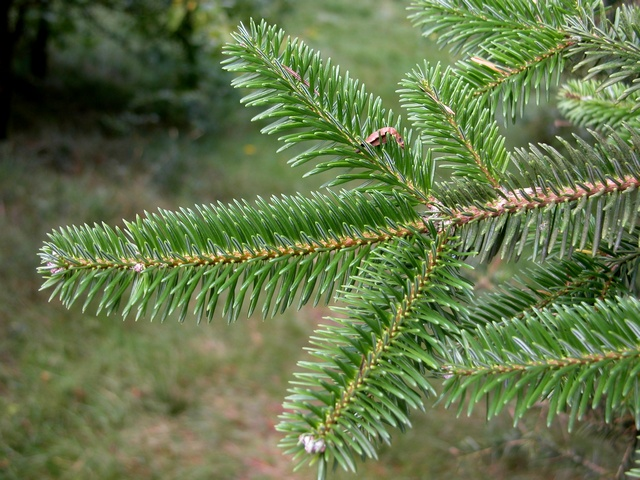 Spanish fir (Abies pinsapo)