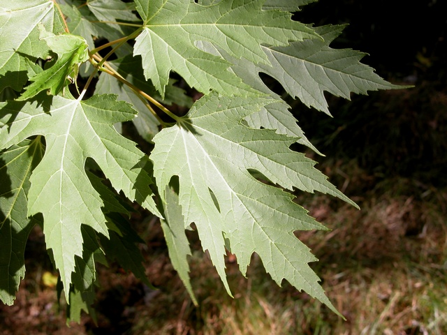 Silver Maple (Acer saccharinum)
