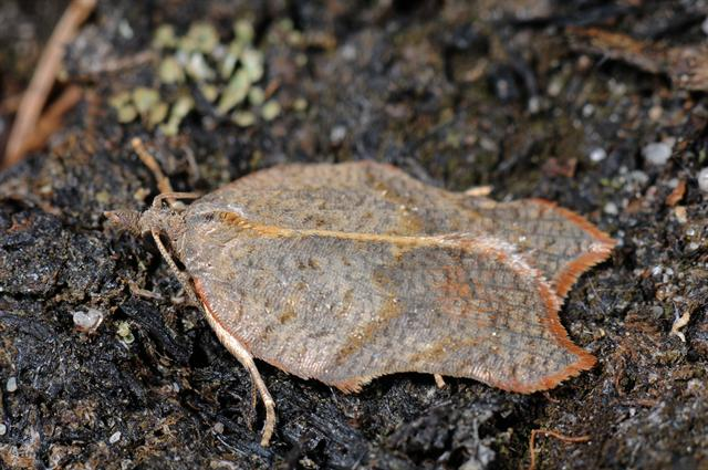 Acleris emargana photo