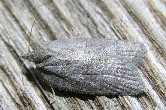 Acleris sparsana photo