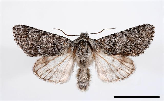Sweet Gale Moth (Acronicta cinerea)