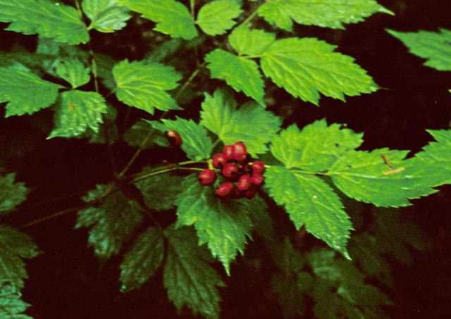 Red Baneberry (Actaea erythrocarpa)