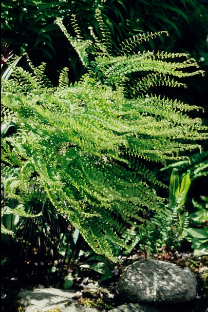 Adiantum pedatum image