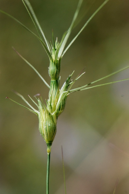Aegilops neglecta