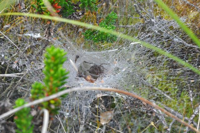 Agelena labyrinthica photo