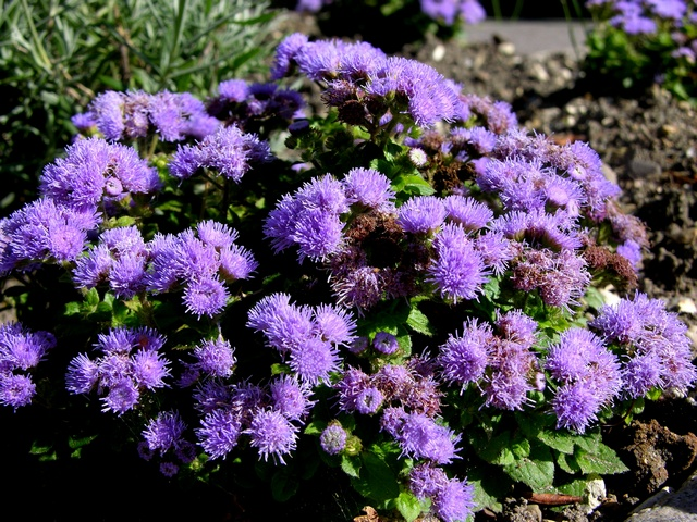 Flossflower ageratum houstonianum biopix photo image 47935 - Plantas para estanques de jardin ...