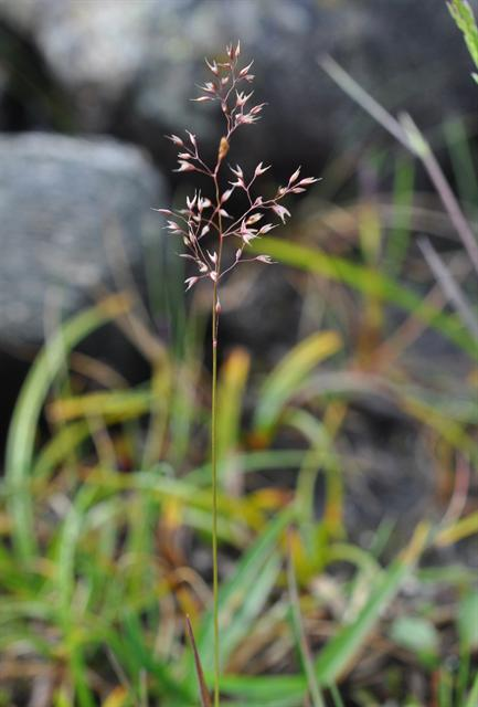 Mountain Bent (Agrostis mertensii)