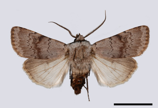 Light Feathered Rustic (Agrotis cinerea)