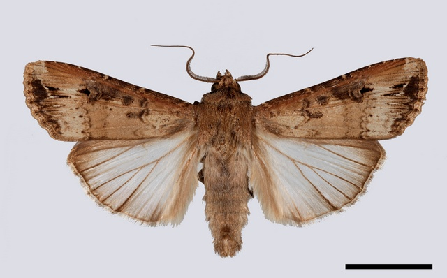 Dark Sword Grass (Agrotis ipsilon)