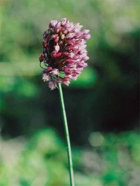 Allium rotundum image
