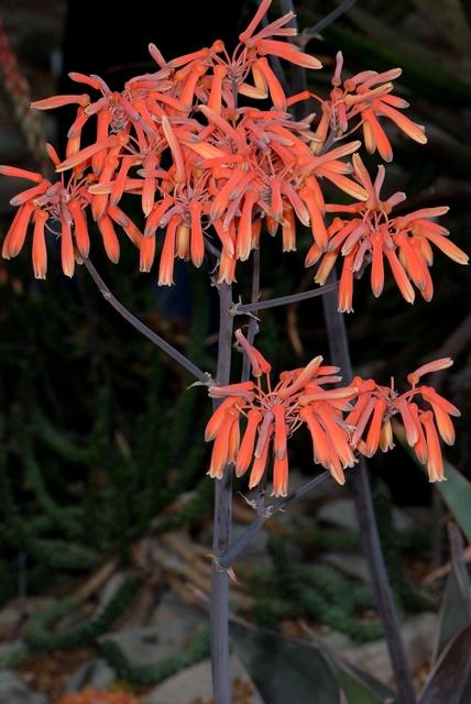 Aloe image