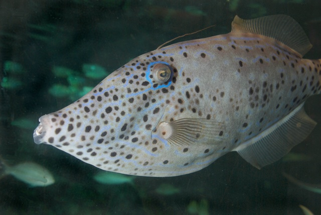 Scrawled  Filefish, Scribbled Leatherjacket (Aluterus scriptus)