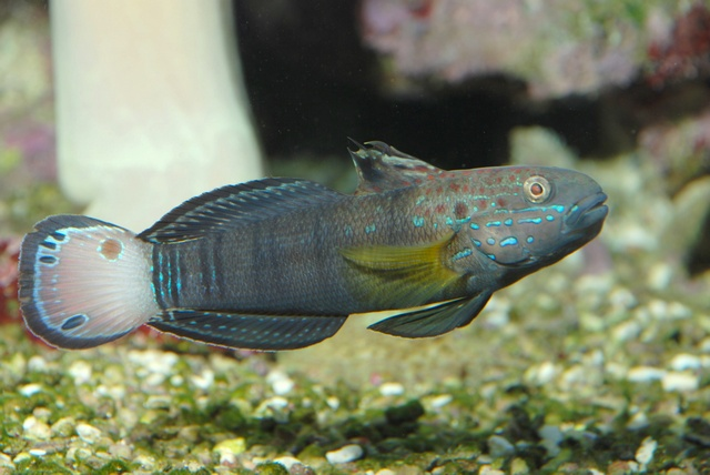 Banded goby, Brown-barred goby (Amblygobius phalaena)