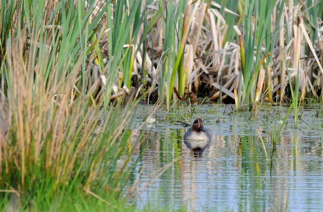Common Teal (Anas crecca)