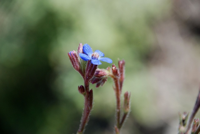 Large Blue Alkanet (Anchusa azurea)
