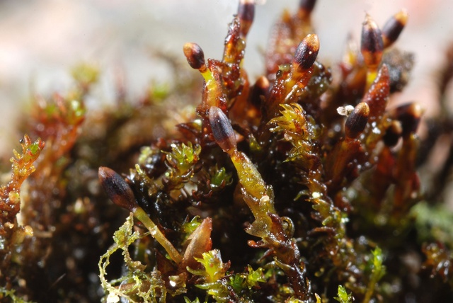 Black Rock-moss (Andreaea rupestris)