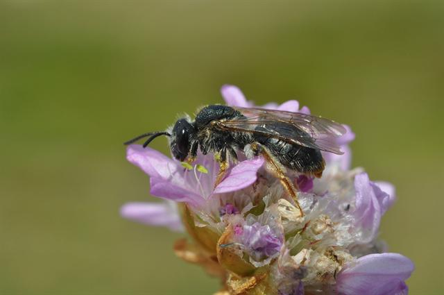 Andrena haemorrhoa photo