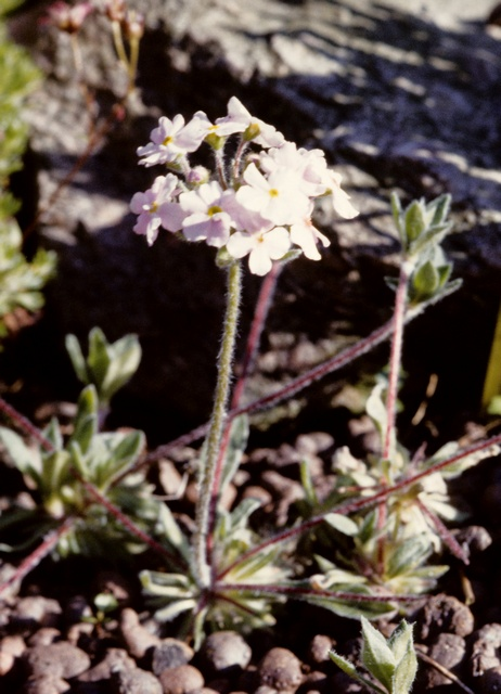 Androsace sarmentosa (Primuloides)