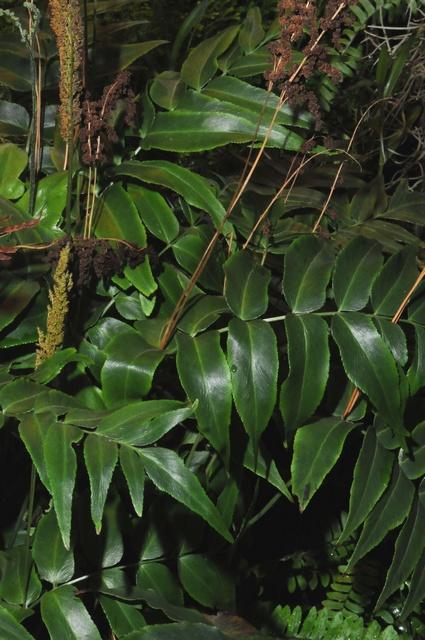 Anemiaceae image