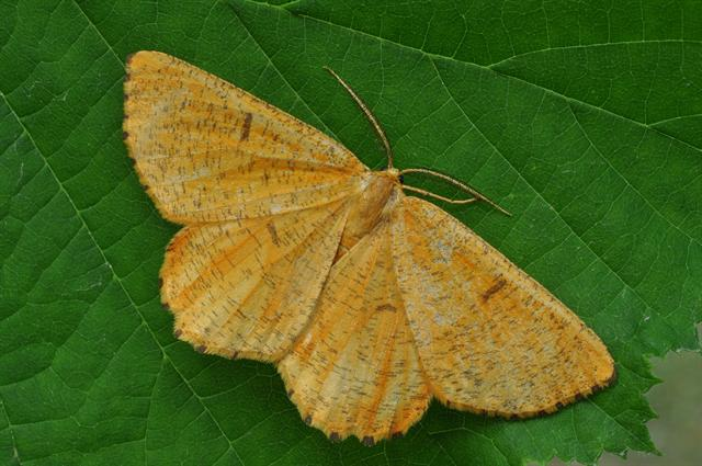 Orange Moth (Angerona prunaria)