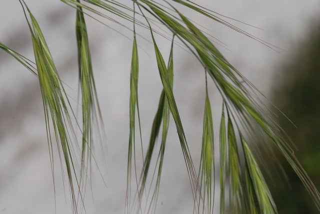 Great Brome (Anisantha diandra)